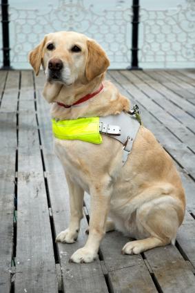 A Hero Guide Dog Petopia