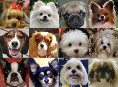 Small dog breeds chart with pictures