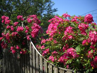 Rhododendrons_cherrygrove