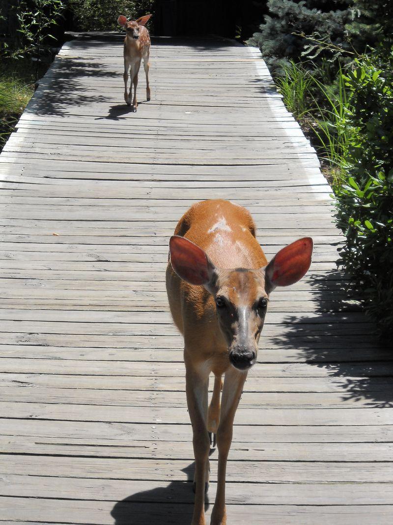 Deer_on_walk_fireisland