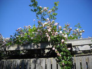 Tea_roses_fireisland_pines