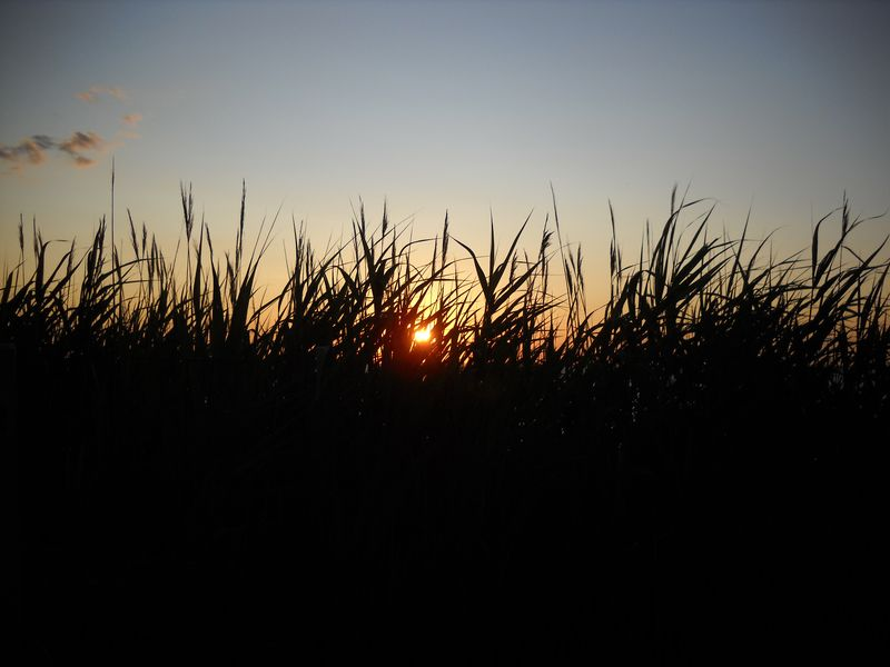 Fireislandsunset_reeds