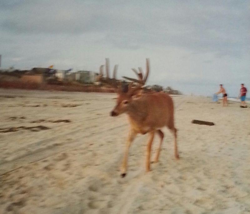 Deer.FireIsland