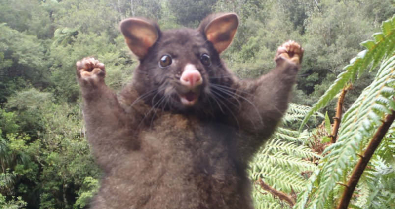Heres-an-optimistic-possum-to-cheer-you-on-if-youre-having-a-bad-day-805x427