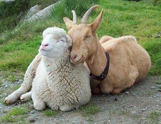 UFFx32-goat