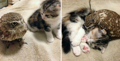 Kitten-and-owlet-best-friends-just-love-taking-naps-together1-990x500