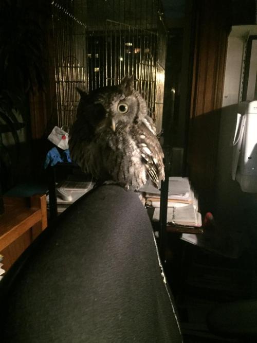 Screech owl WBF