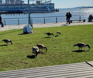Geese on the pier