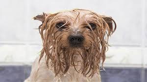 Dog wet