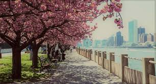 Pink blossoms new york city