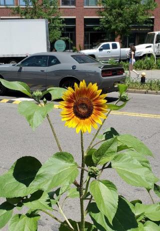 City sunflower 2021
